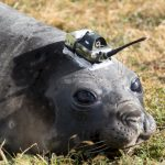 Southern Elephant Seal with Argos beacon (Credits Malcolm O'tool, CNES postdoc at LOCEAN)