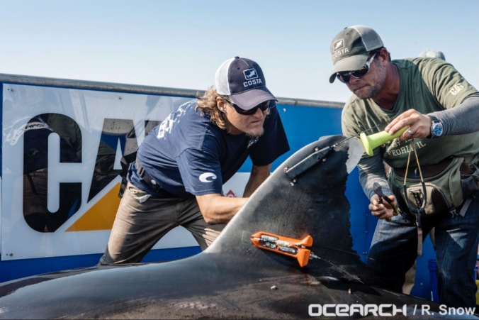 "Tagging of the white shark nicknamed ""Lydia"" (Credits Ocearch/R. Snow)"