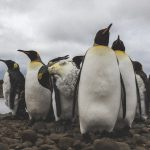 King Penguins (Credits Malcolm O'tool, CNES postdoc at LOCEAN)