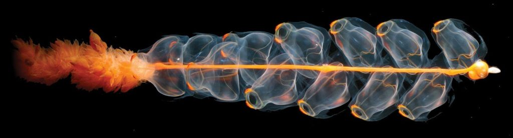 A siphonophore (Alaska/Beaufort Sea/Arctic Ocean) (Credits Credit: Hidden Ocean Expedition 2005/NOAA/OAR/OER )