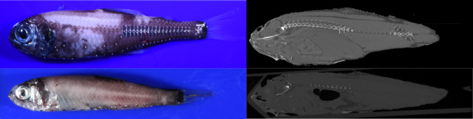 Top: Photograph and CT scan of an adult Electrona antarctica, with a regressed swimbladder. Bottom: Photograph and CT scan of Krefftichthys anderssoni, with a large swimbladder